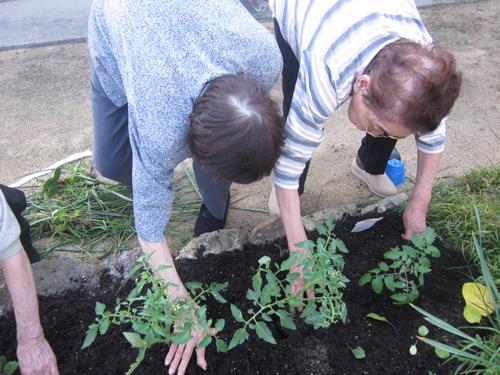 庭での夏野菜植え-500